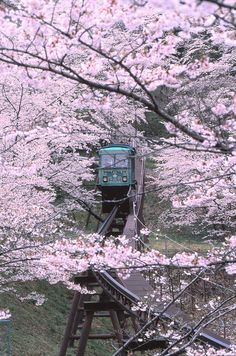 Slope car at cherry blossoms in Funaoka Castle, Miyagi, Japan