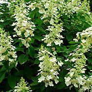 Hydrangea paniculata 'Tardiva' (from Morningstar Perennials, planted by brook)