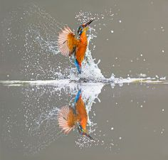 Picture perfect: A Kingfisher is reflected in the water following an unsuccessful dive for fish in Dumfries, Scotland