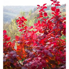 Cotinus 'Grace', good for cutting, full sun or part shade, likes moist but well drained soil, grows 2.5 m to 4 metres high x 4-8metres wide, flowers July-August
