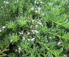 YAREENA™ Myoporum is a drought and frost tolerant ground cover plant with crisp clean foliage and masses of white flowers