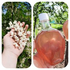 Sirop din flori de salcâm Alcoholic Drinks, Rose, Glass, Dna, Alcoholic Beverages, Pink, Drinkware, Roses, Liquor