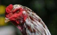 """Agen Sabung Ayam Online -Ayam Shamo merupakan ayam aduan ( ayam laga ) yang berasal dari negara matahari terbit, jepang. Agar anda tidak tertipu ketika hendak memebli ayam shamo ini Royal928 telah merangkum sejumlah informasi mengenai """"Harga Jual Dan Jenis - jenis Ayam Shamo Ori Jepang ,"""" Bird Breeds, Ciri, Galo, Taiwan, Bangkok, Pakistan, Rooster, Animals, Bali Lombok"""