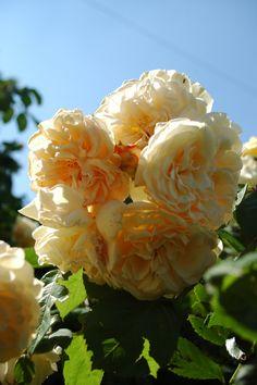 buff beauty rose   Buff Beauty