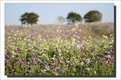 Dans un champ de fleurs... - Finistère Bretagne