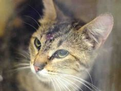 TO BE DESTROYED 07/05/16 : Bubbie was lucky enough to be spared from the list on 07/01. Sadly, she is back, facing death again. Bubbie was brought into the ACC as a stray so not much is known about her past. What we do know is that she is scared and nervous and in defense mode, she came in still lactating without her kittens and with a wound on her head. she will not tolerate any petting or handling. Not showing the ACC she is a team player is probably how she ended up back here. Well…