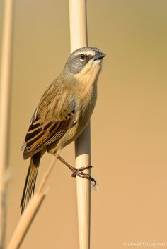 Long-tailed reed finch (Donacospiza albifrons) is a species of bird traditionally placed in the Emberizidae family. It has been suggested though that its nearest relations may be the finch-like tanagers of the genus Poospiza in the family Thraupidae.