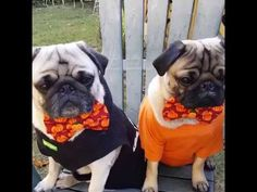 Two well dressed pugs - YouTube https://youtu.be/1HkiRDyUHiw