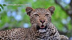 Power Leopard sighting, close up in Kruger National Park on Safari.