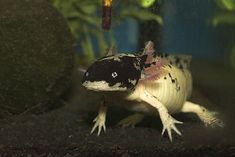 Axolotl. My brother used to have one as a pet! Más peces curiosos en http://www.masquecuriosidades.com/animales-raros/