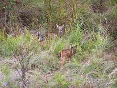 Fawn And Doe Eating Grass