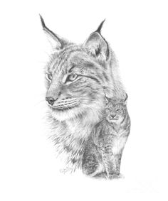 A detailed pencil sketch study of the European Lynx, including a large head study and body composition.