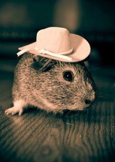 OMG its my guinea pig chunk in a cowboy hat