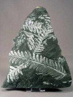 Fossil Plant Seed Fern,
