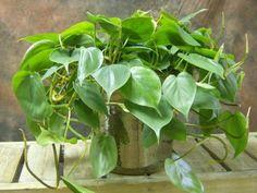 pianta rampicate