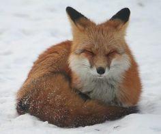 Fire fox is frozen