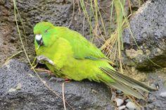 Antipodes Island parakeet.