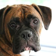 Eliminate Over 30+ Common Behavioral Boxer Issues - boxer dog #boxerdog