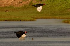Birds of the Kruger National Park - the Kruger Park is a birder's paradise as there are over 500 species of birds that have been seen in the park!