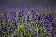https://flic.kr/p/vWFU4Y | Lavender