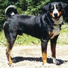 While the Entlebucher Mountain Dog is protective of its surroundings, it is a very restrained watchdog. Overall, this is a high-energy, resilient breed that truly appreciates working in wide-open spaces. If you can give the Entlebucher Mountain Dog lots of companionship and steady work, it will be endlessly happy.