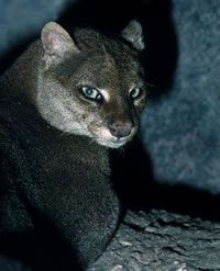 Awesome Photos of Wild Cat Jaguarundi pics) - Pic Beautiful Cats, Animals Beautiful, Beautiful Creatures, Cute Animals, Pretty Cats, Pumas, Crazy Cat Lady, Crazy Cats, Rusty Spotted Cat