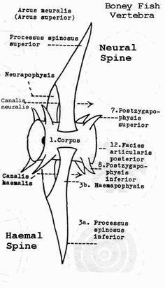 description  u0026quot diagram of vertebrae of a bony fish  a