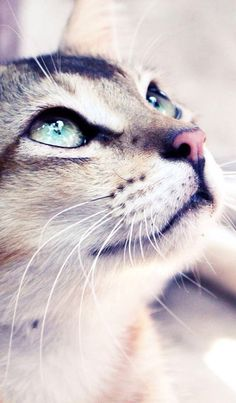 Beautiful, how could anyone harm such beautiful creatures. not just cats, any animal, they are all beautiful Pretty Cats, Beautiful Cats, Animals Beautiful, Pretty Kitty, Gorgeous Eyes, Beautiful Pictures, Crazy Cat Lady, Crazy Cats, I Love Cats