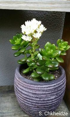 crassula hobbit bonsai Google Search Bonsai