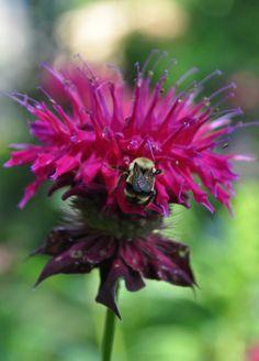 Bee on Monarda 'Raspberry Wine'