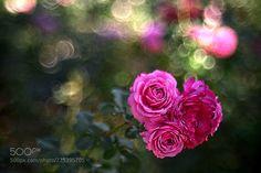Roses (Aki / Amagasaki / Japan) #ILCE-7 #macro #photo #insect #nature