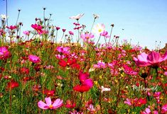 Field of Cosmos 🌸🥀🌷 Ficksburg, Free State. Click on pic to find where to stay in Ficksburg. Images: Marietjie Hayward Free State, Cosmos, Plants, Plant, Space, Planets, Outer Space