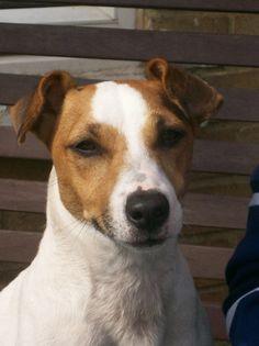 Jack Russell #JackRussell #dogs