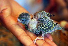 Baby parrot ♡