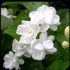 The flower bears the common name `jasm` which is often given to dissimilar plants with pale, sweetly-scented flowers and dark green leaves, such as confederate or star jasmine.