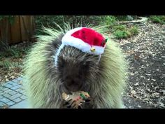 Teddy the porcupine wishes you a merry Christmas.  Theres no way you can't smile!