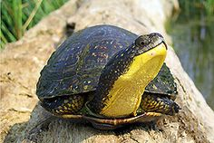 Blandings turtle (Photo by Ryan M. Bolton) don't see them to often around here.