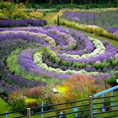 Yorkshire Lavender Gardens - United Kingdom