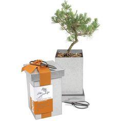 Japanese Black-Pine Bonsai Kit, available at #surlatable