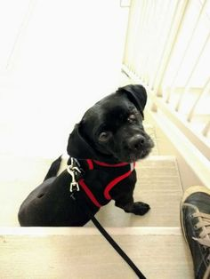 Chihuahua dog for Adoption in Durham, NC. ADN-751786 on PuppyFinder.com Gender: Male. Age: Adult