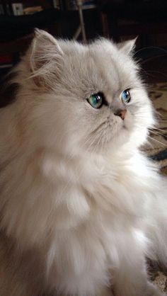 What do you need to know before considering Persian cat adoption? Read a few answers on our website. Pretty Cats, Beautiful Cats, Animals Beautiful, Cute Cats And Kittens, Kittens Cutest, Ragdoll Kittens, Funny Kittens, Bengal Cats, Siamese Cats