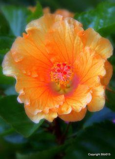 ~~Orange Hibiscus by Bibi015~~