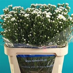 Aster Cassablanca / Linda (also known as September Flower) is a white filler flower. 80cm tall & wholesaled 25 stems per wrap.