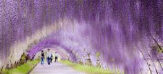 Wisteria, known as fuji in Japan, is said to be one of the archipelago's most ancient noted flowering trees.The Wisteria Tunnel is located at the Kawachi Fuji Gardens in Fukuoka Kitakyusyu, Japan, a 12-hour drive from Tokyo. If you visit in late April or Early May during the Fuji Matsuri or Wisteria Festival, the tunnel will be in full bloom.
