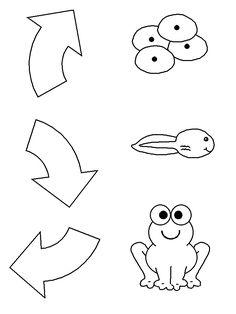 Kindergarten Frog Life Cycle Worksheet | http://www.dltk-kids.com/animals/mfroglifecycle.htm