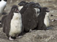 Rockhopper chicks by Richard McManus on 500px