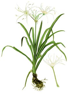 Hymenocallis littoralis beach spider lily