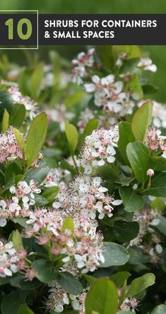 Amp up the color in your containers by including beautiful shrubs in the mix. Hydrangeas, petite evergreens, so many smaller shrubs offer color all season long, and you can move them around your patio as much as you want! Here are 10 plants that have been designed for small spaces in the landscape, or for containers. Edging Plants, Garden Edging, White Plants, Large Plants, Lavender Flowers, Large Flowers, Shrubs For Landscaping, Florida Landscaping, Hydrangea Varieties