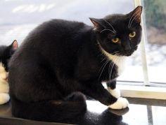 Daisy/Domestic Short Hair-black and white • Young • Female • Medium Animal Alliance Lambertville, NJ