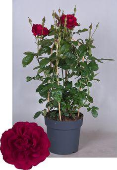 Renaissance® Collection Capricia™ Poulren024(N) Renaissance, Plants, Collection, Plant, Planets